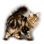cat mirmainecoon