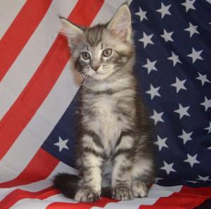 Американский котенок мейн-кун